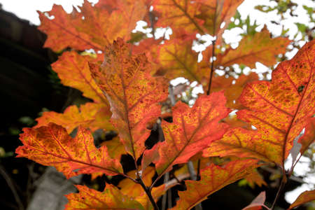 Quercus rubra, the northern red oak deciduous tree autumnal foliage detail