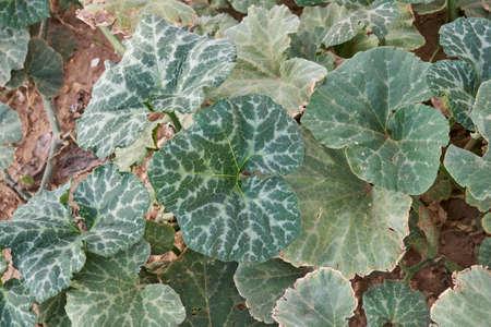 Cucurbita moschata squahs plant green foliage