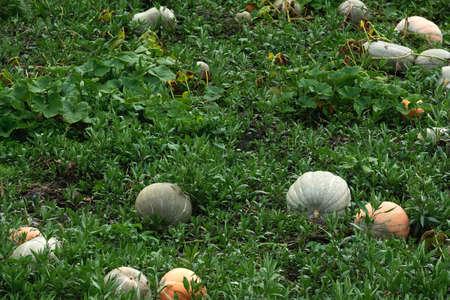 Homegrown pumpkins in the kitchen garden Standard-Bild