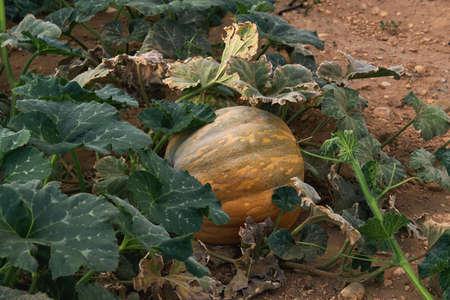 Orange pumpkin growing in the kitchen garden