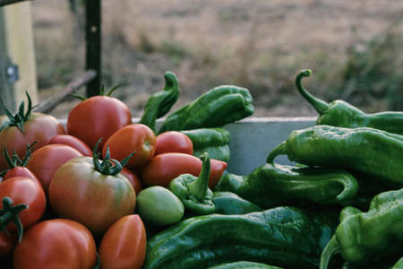 Fresh crops from the kitchen garden harvest, mature red tomatoes and green sweet peppers Standard-Bild