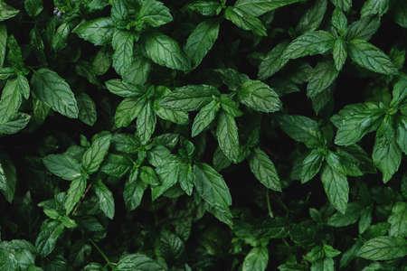 Mentha spicata, fresh garden mint plant green leaves