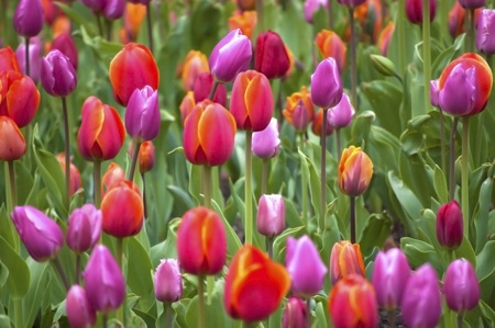 Colorful Spring Tulips Stock Photo - 13459179