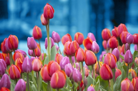 royalty free: Colorful Tulips