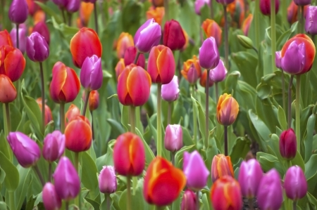 Multi-colored tulips in the springtime