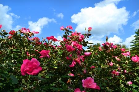 Pink Rose Bush on a Beautiful, Summer Day Archivio Fotografico