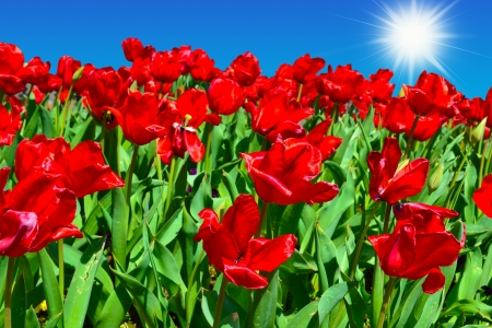 stock photo   tulip: Red Tulips in the Springtime Stock Photo