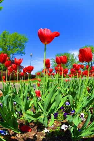 Red Tulips in the Springtime Фото со стока