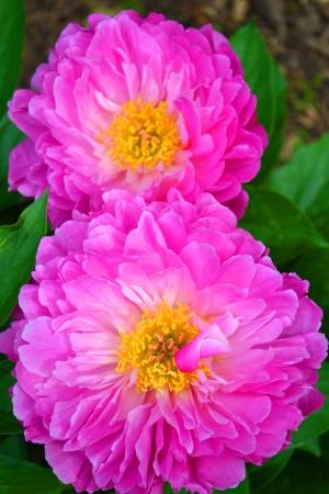 Closeup of Two Beautiful Pink Peonies During the Springtime