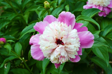 beautiful rare: Closeup of a Rare, Beautiful White and Pink Peony in the Springtime Stock Photo
