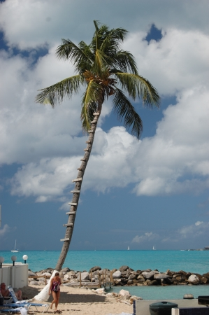 simpson: Ladder Going Up a Palm Tree on the Shoreline of the Caribbean Island of Sint Maarten St  Martin in the Netherlands Antilles
