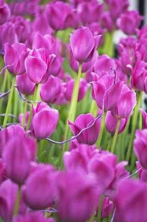Violet Tulip Garden