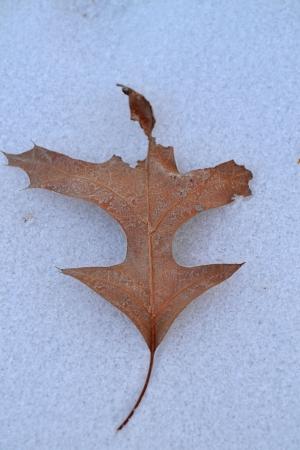 Leaf on snow Stock Photo
