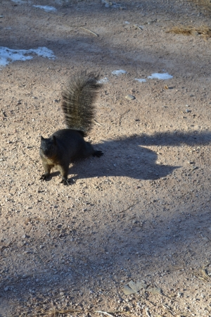 Black squirrel in winter Stock Photo