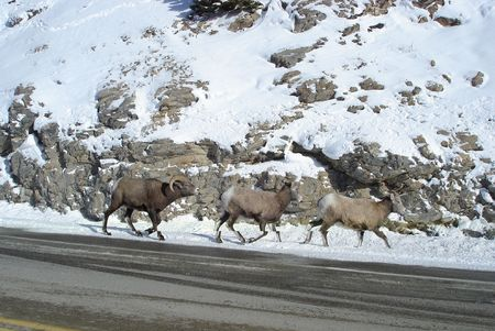 Three mountain sheep walking away photo
