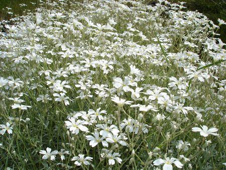 Field of white flowers Imagens
