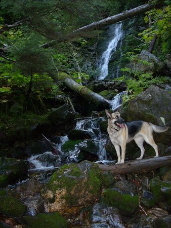 German Shepard dog at Waterfall photo