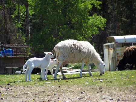 Ma Sheep & lamb after the Birth