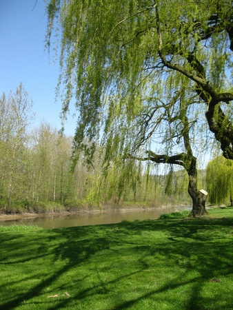 Weeping willow by pond photo