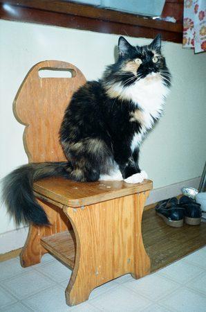 calico cat: Calico cat on stool