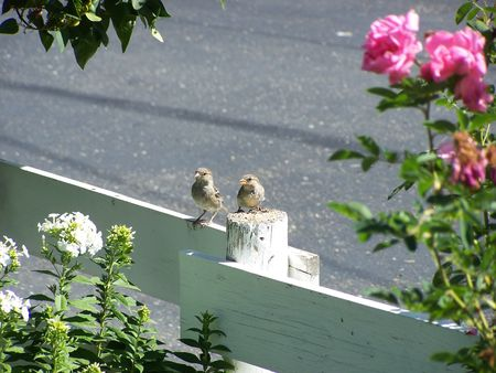 Two young female house sparrows photo