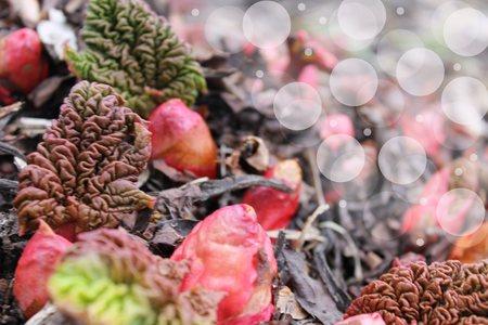Rhubarb sprouting bokeh Stock Photo