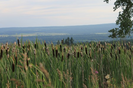 farmlands: Bulrushes in the farmlands