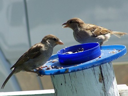 sharing food: Female house sparrows sharing food
