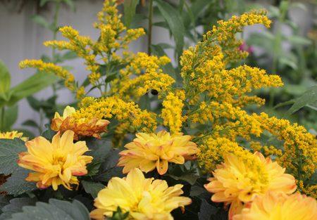 mums: Mums and Golden rod flowers