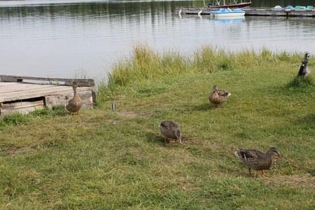 femal: Line of femal Mallard duck scenic