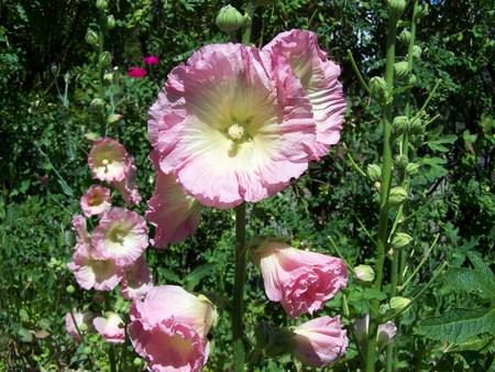 Pink Hollyhock Stock Photo