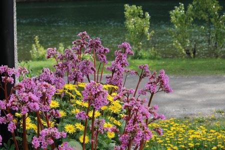 Bergenia and daisies