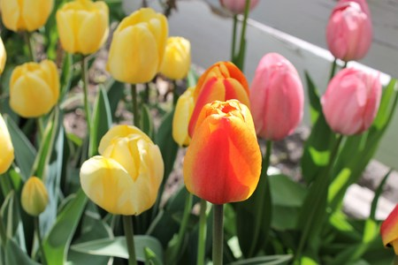 Ornage tulip centered in the bunch