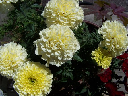 pot marigold: Vanilla marigold bunch