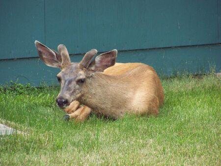 Young deer resting