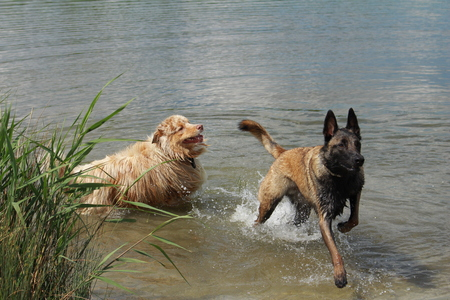 Australian shepherd and Malinois shepherd who jump into the water Stock Photo