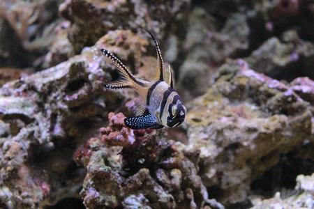 aquarist: Colored seabed fish in aquarium Stock Photo