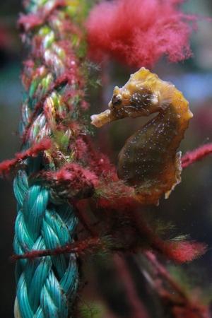 aquarist: Seahorse fish in the aquarium