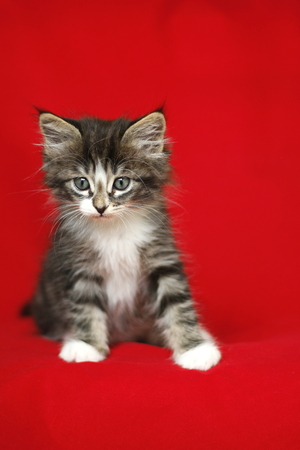 A small Norwegian kitten tabby gray black and white in sitting position with look down on a red background Stock Photo