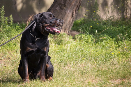 profile of a rottweiler dog with a leash