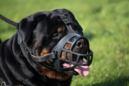 head protection: portrait of a large rottweiler male adult muzzled and held on a leash
