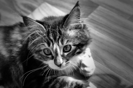 little Norwegian kitten who rests on the ground monochrome photo
