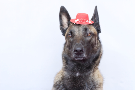 柔らかい目耳をまっすぐ帽子をかぶっていると羊飼いのマリノア ベルギーの肖像画