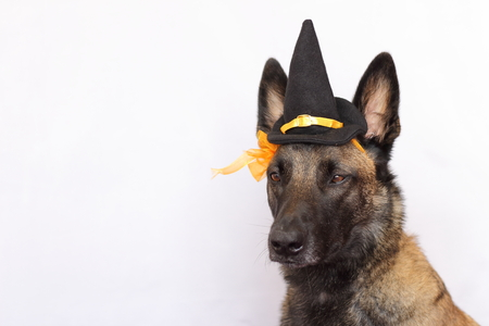 Belgian Shepherd Malinois dressed in a sharp hat and an orange flower for the halloween party with the straight ears Foto de archivo