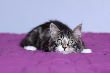 kitten maine coon van gestreepte grijze kleur