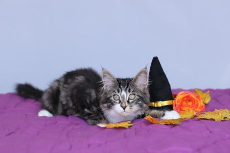 kleine kitten maine coon liggend op de heks hoed en een oranje bloem voor de halloween-feest