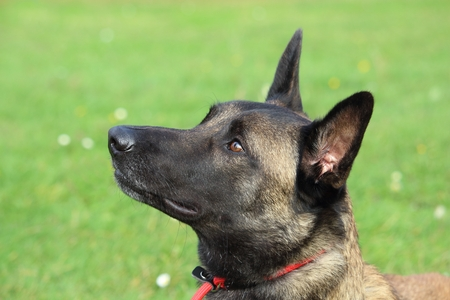 a Malinois Belgian Shepherd dog with a red leash looks up to listen to his masters order