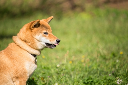 he: the little japanese shiba dog is in the grass and he is curious Stock Photo
