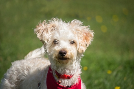 A small white dog with curly hair is very curious Stock Photo