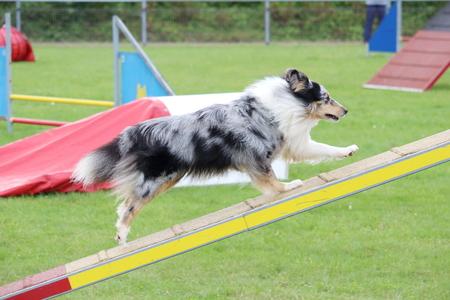 A shetland dog in an agility canine contest